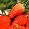 GWには旬なフルーツを味わう!イチゴ狩り・さくらんぼ狩りの日帰りバスツアーも豊富!