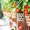 夏の到来を告げる浅草のほおずき市でほおずきと風鈴と126年分のご利益を得よう!