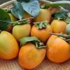 簡単にできる柿の渋抜き方法と干し柿だけじゃない渋柿の食べ方まとめ!