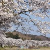 千本桜と呼ばれている場所はどこにある?千本桜の名所一覧!