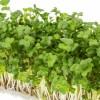 ブロッコリースプラウトは食べないと損!栄養豊富で栽培もできるコスパ最高の天然サプリ!